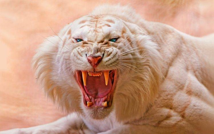 Cute Tiger Cubs Hd Wallpapers Animals Tiger White Tigers Nature Open Mouth Blue