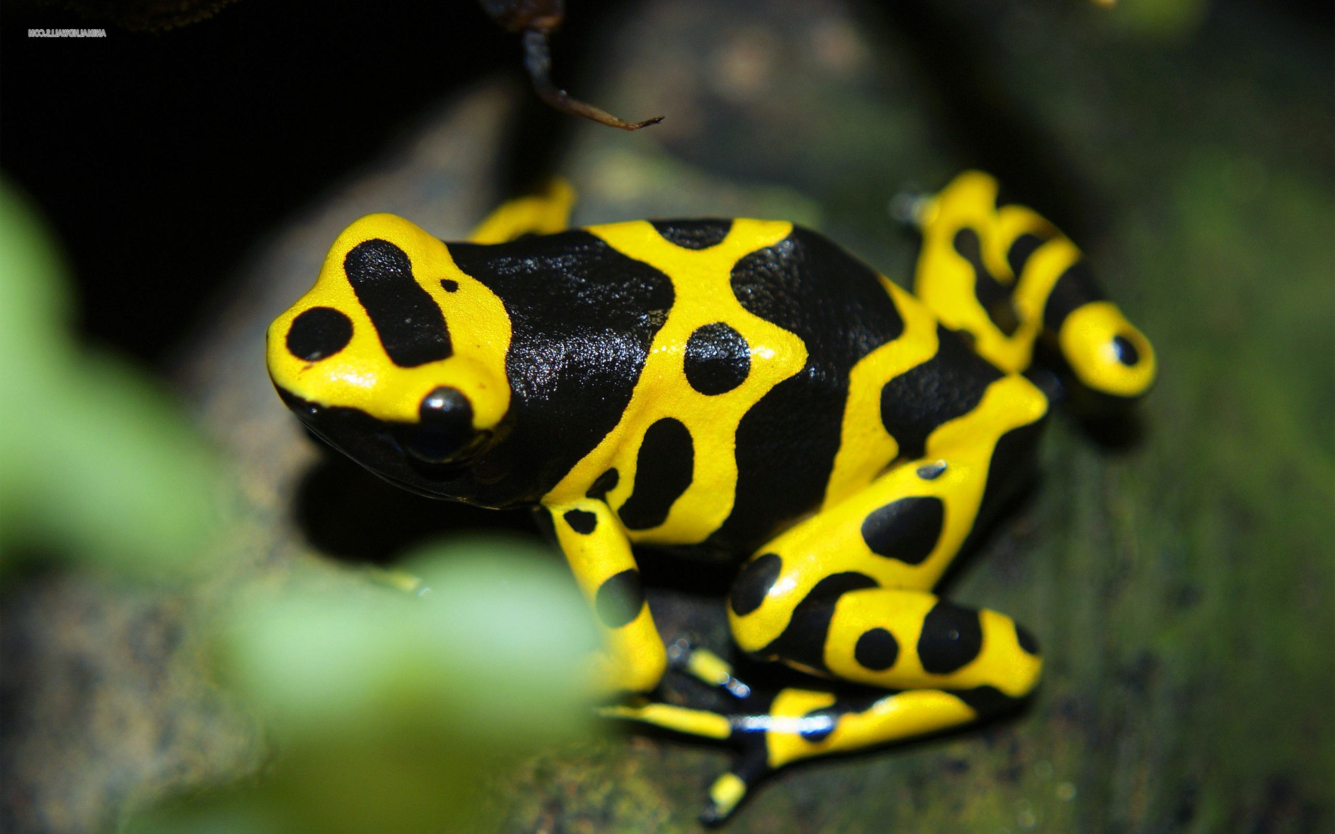 3d Frog Wallpaper Frog Animals Nature Amphibian Poison Dart Frogs