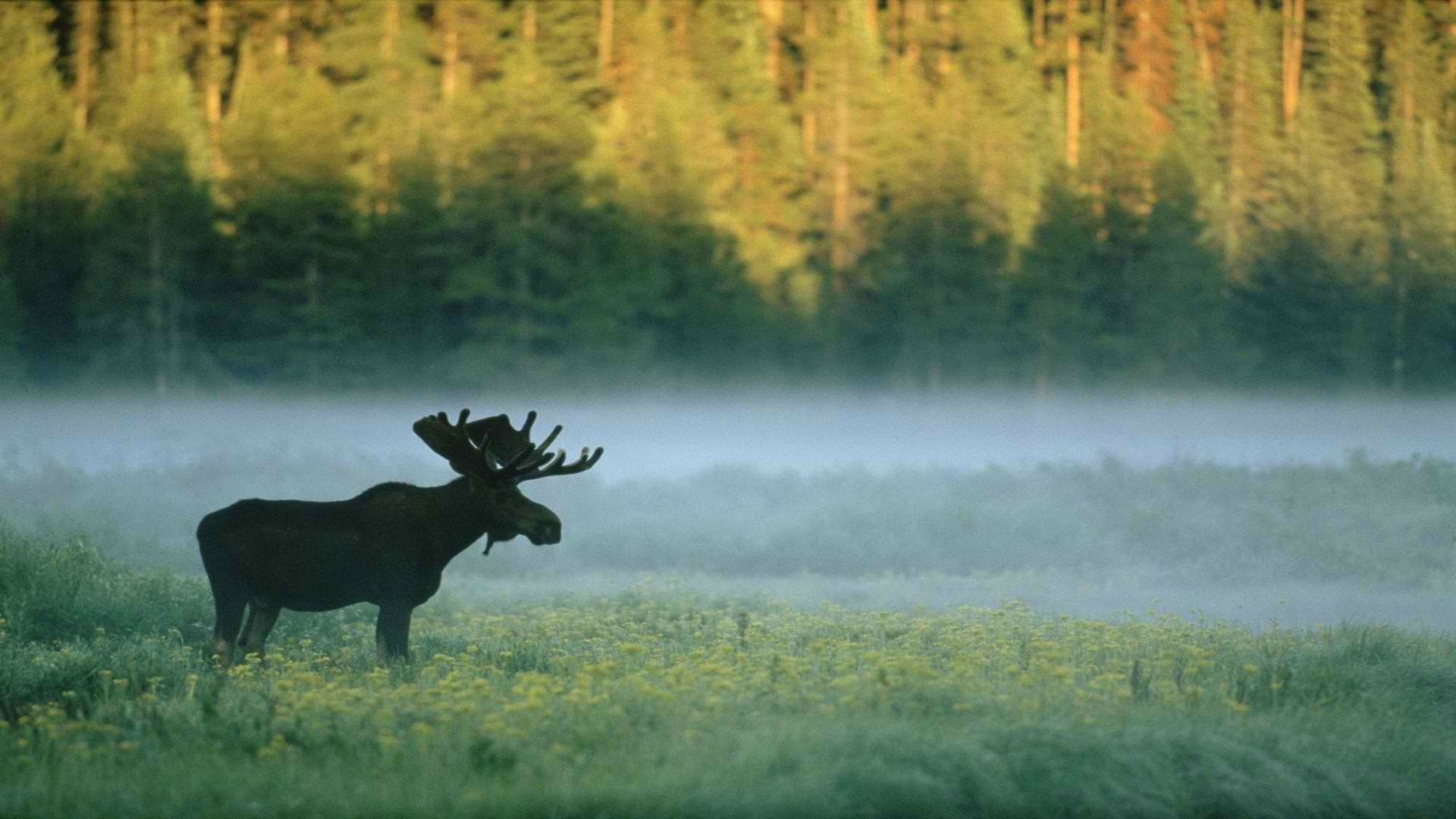 Background Wallpaper Hd Fall Fog Forest Moose Nature Animals Wallpapers Hd Desktop And