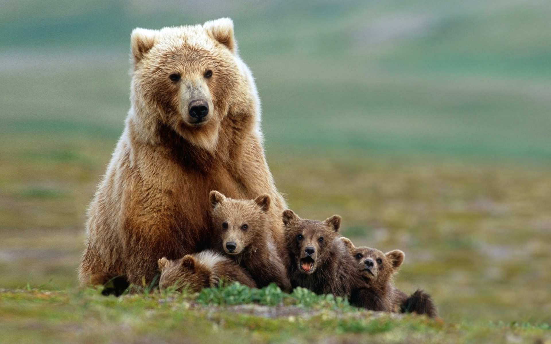 New 3d Desktop Wallpaper Hd 16 Nature Animals Grizzly Bears Bears Baby Animals Field