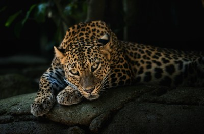 animals, Leopard Wallpapers HD / Desktop and Mobile Backgrounds