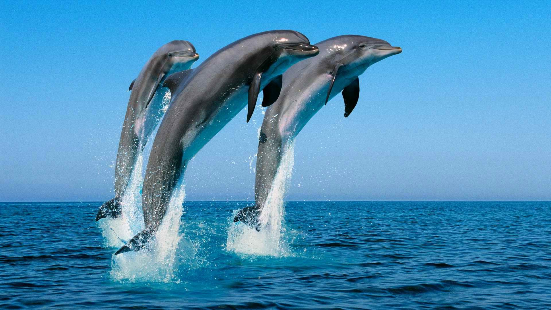 3d Dolphin Wallpaper Download Animals Dolphin Jumping Sea Splashes Wallpapers Hd