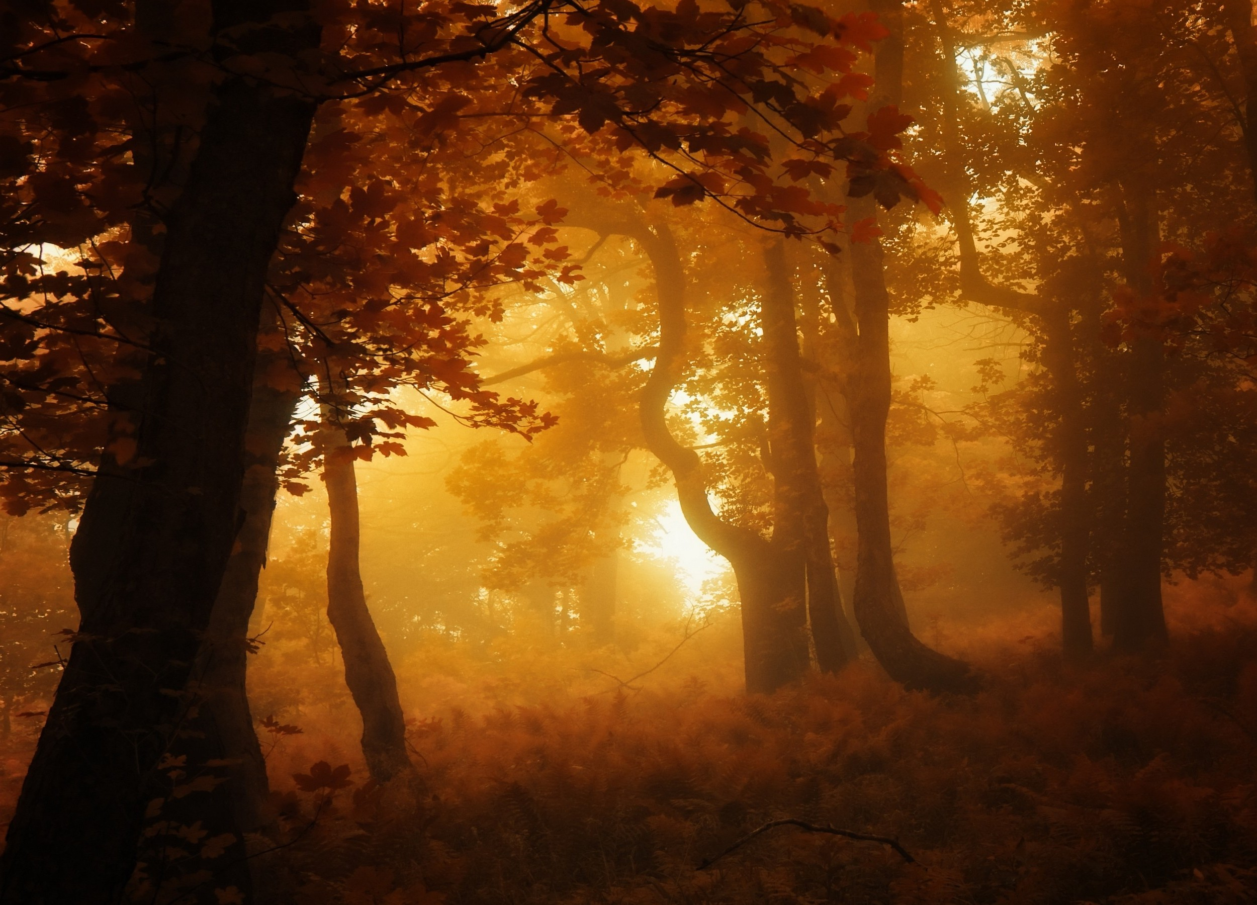 Fall Leaves Hd Wallpaper Nature Forest Mist Sunrise Leaves Fall Trees