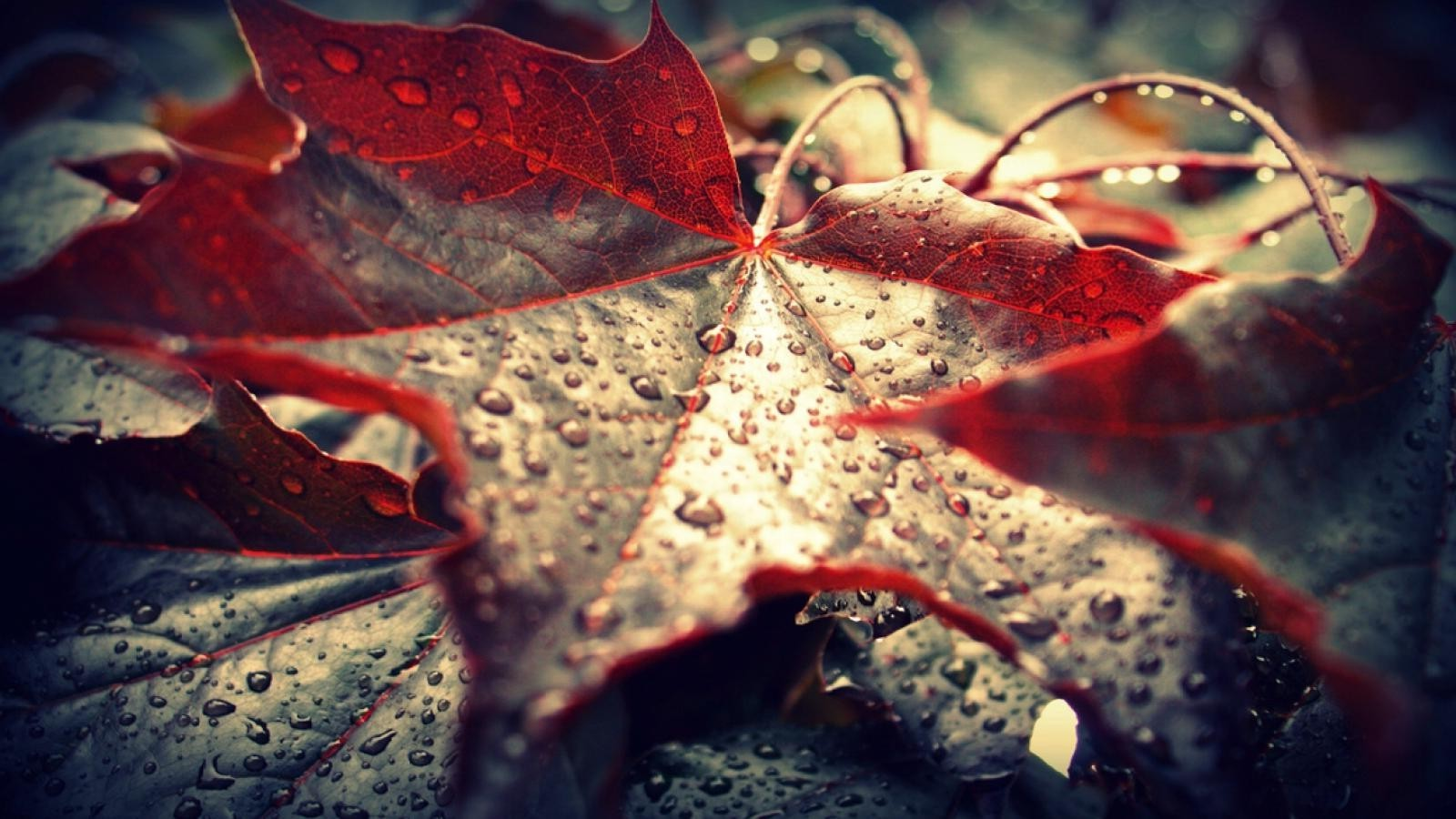 Full Screen Desktop Fall Leaves Wallpaper Leaves Dew Nature Maple Leaves Macro Water Drops