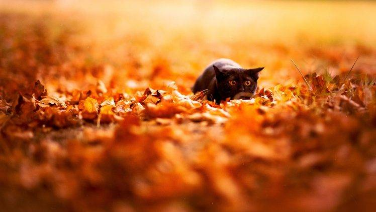 Free Fall Cat Wallpaper Feline Depth Of Field Cat Nature Leaves Fall Animals