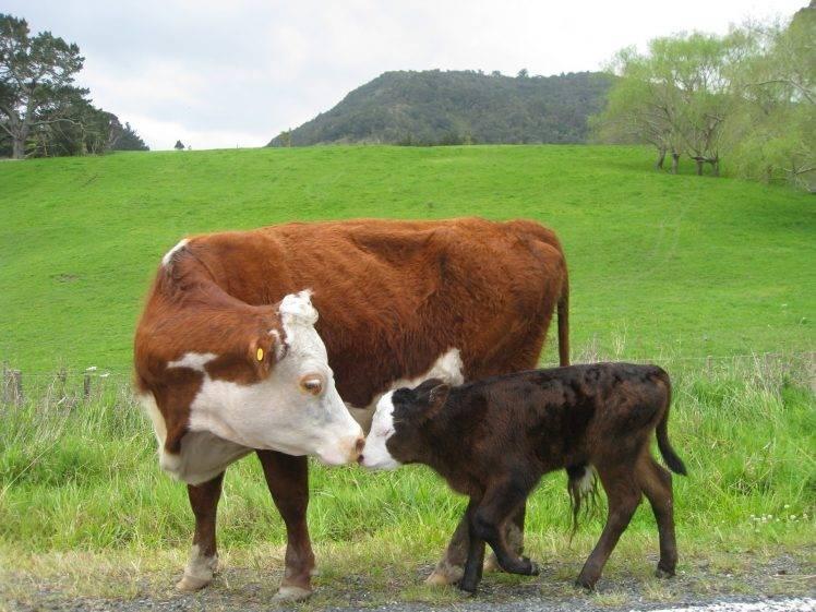 Wallpaper Hd For Desktop Full Screen Cute Baby Cows Baby Animals Animals Field Wallpapers Hd Desktop