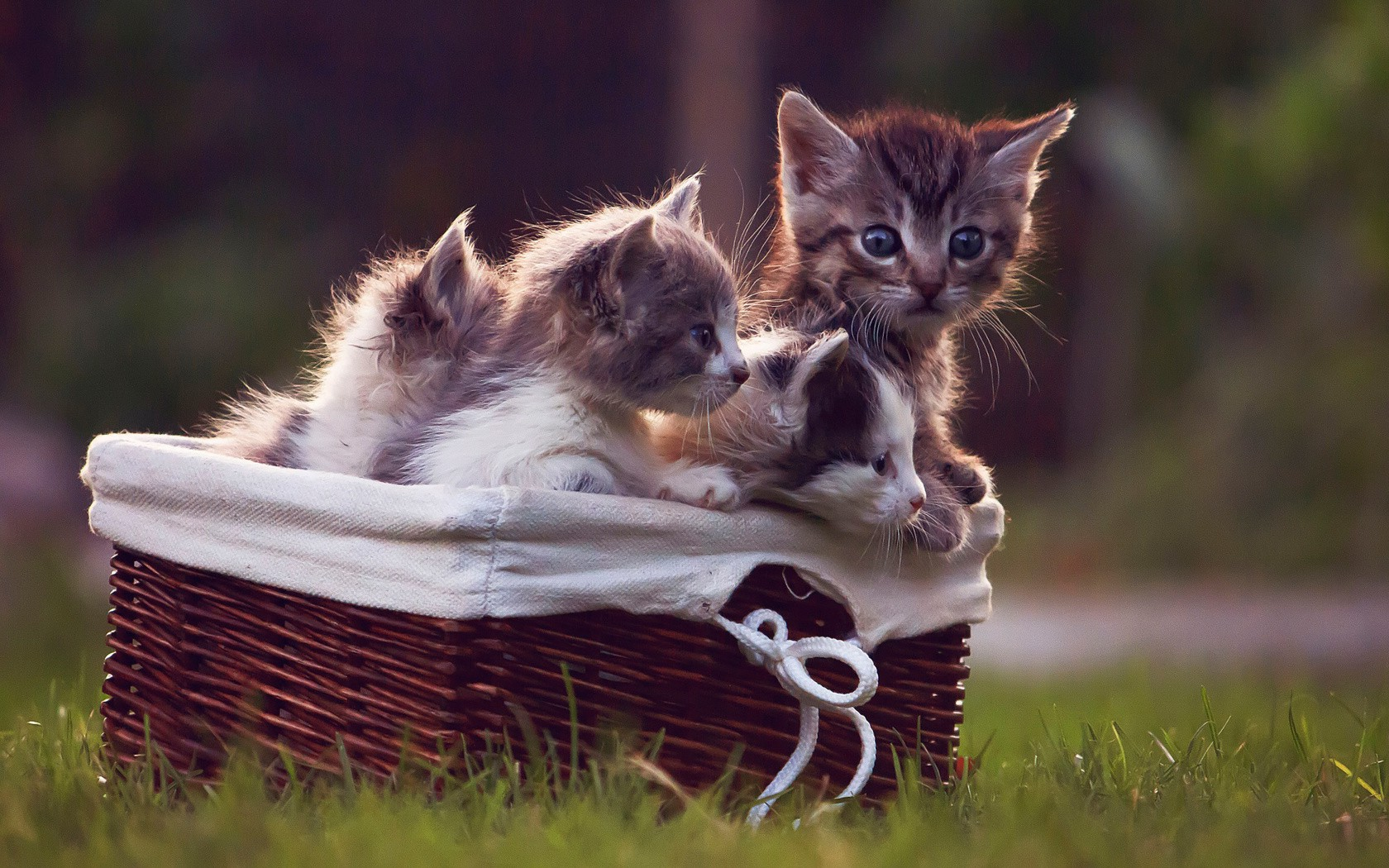New 3d Desktop Wallpaper Hd 16 Animals Cat Kittens Baskets Grass Wallpapers Hd