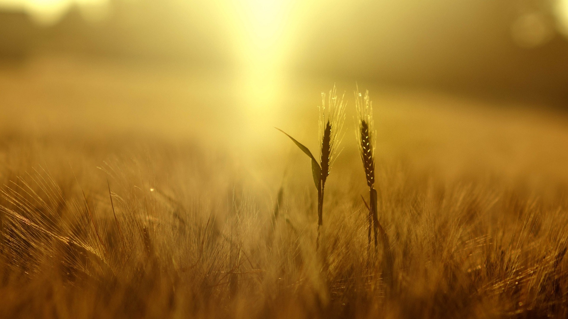 Animal Farm Wallpaper Wheat Plants Nature Field Depth Of Field Yellow