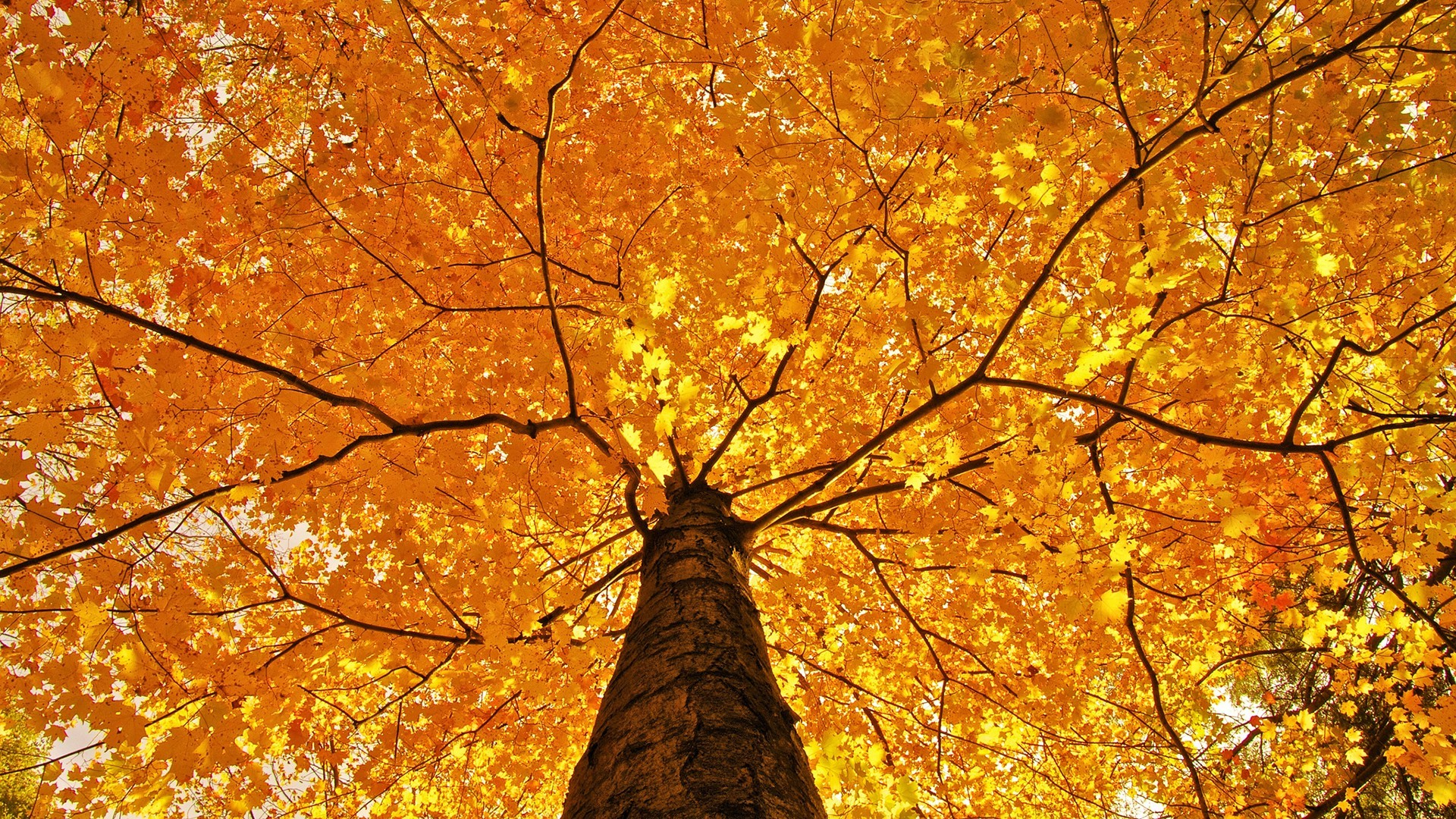 Fall Leaves Hd Mobile Wallpaper Nature Trees Leaves Branch Fall Maple Leaves Yellow