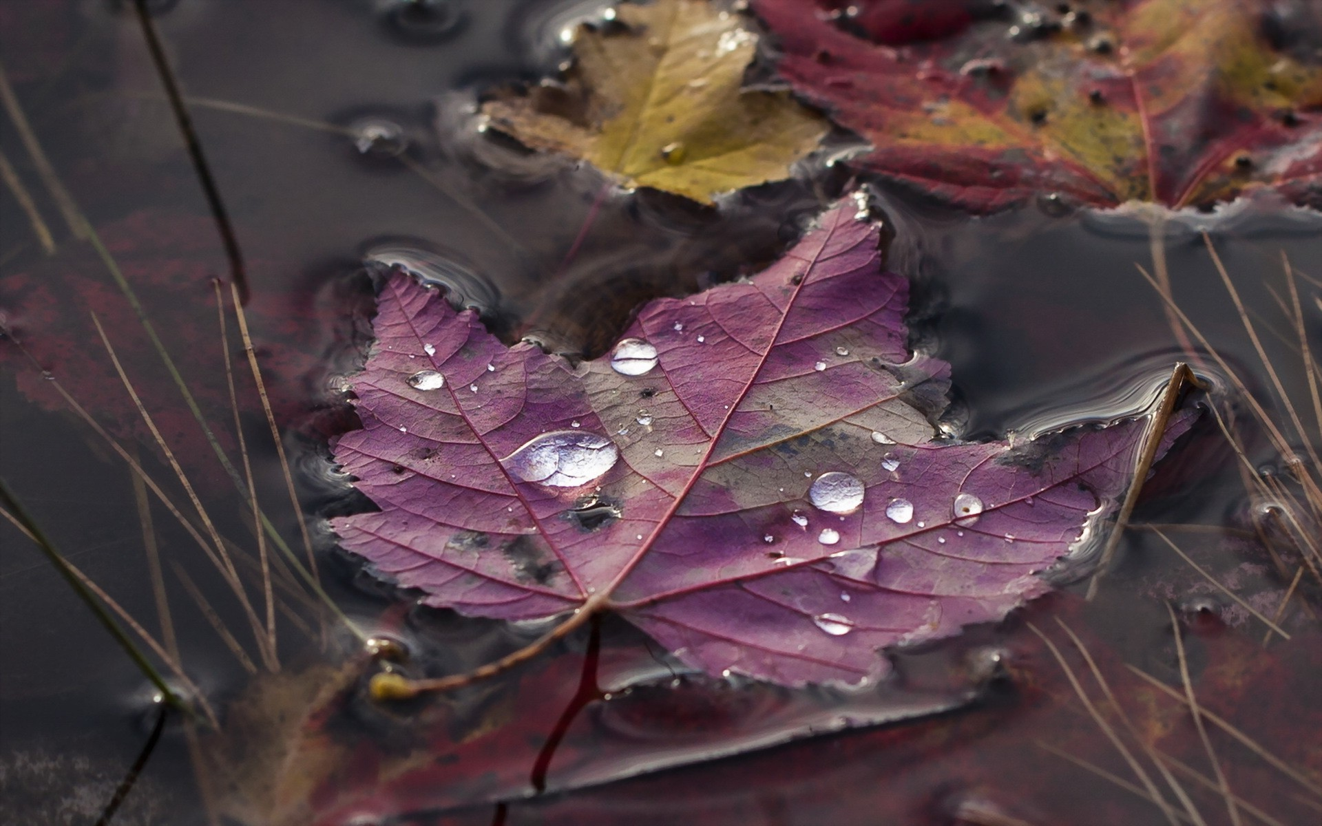 Vintage Fall Wallpaper Nature Leaves Maple Leaves Macro Water Drops Closeup