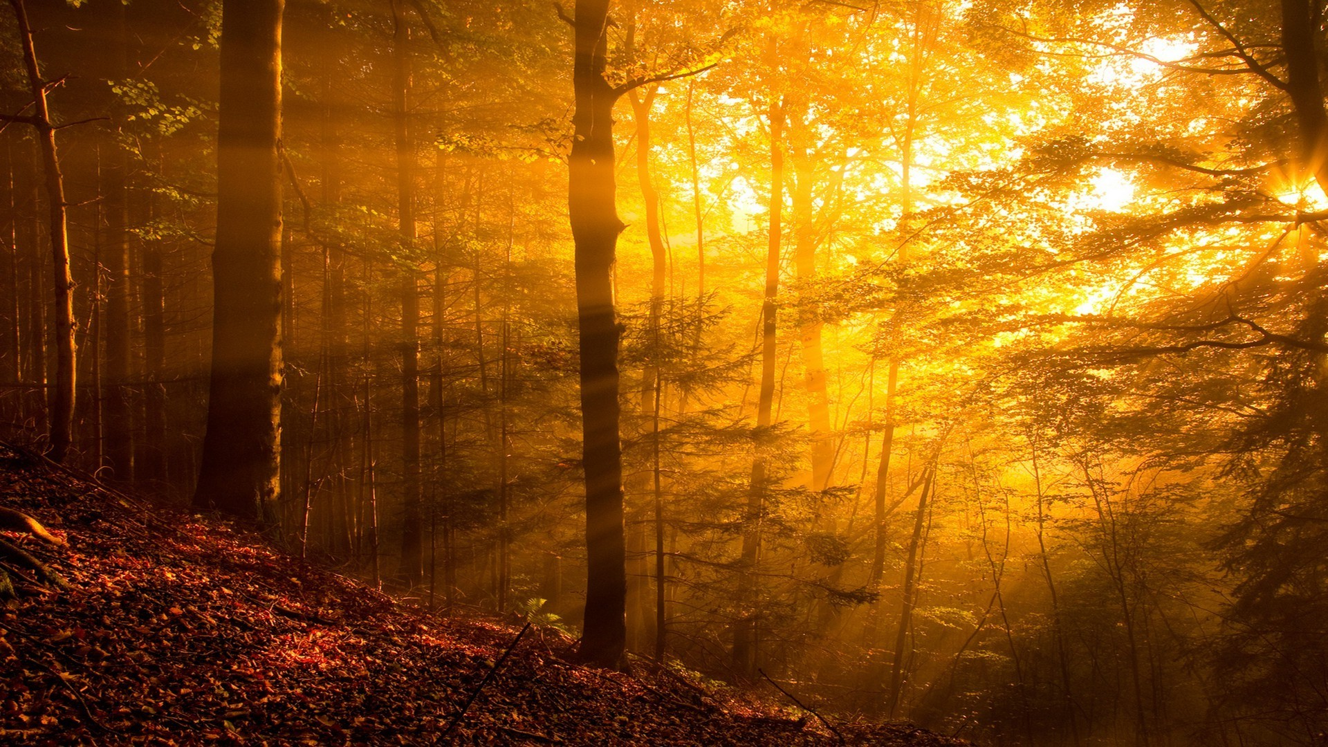 Fall Wallpaper 1600x900 Nature Trees Forest Sun Rays Leaves Branch Plants