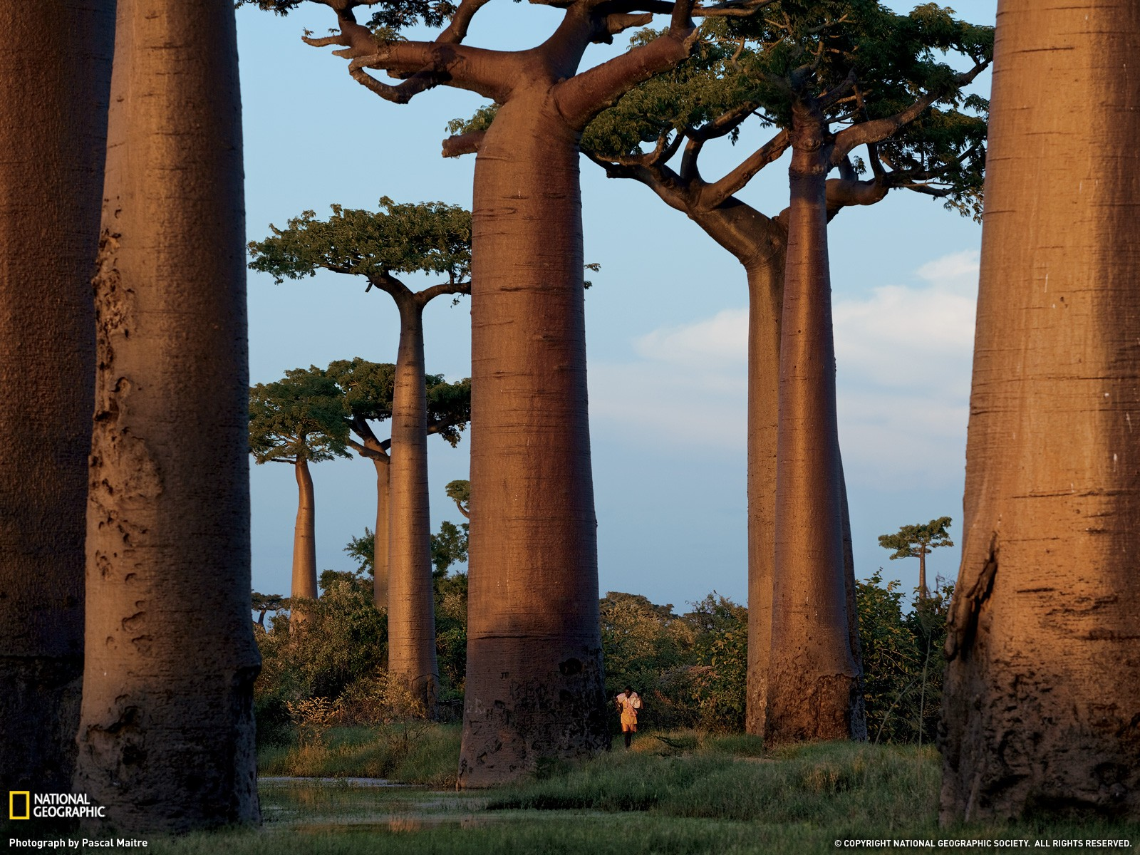 4k Wallpaper 3d National Geographic National Geographic Trees Madagascar Wallpapers Hd