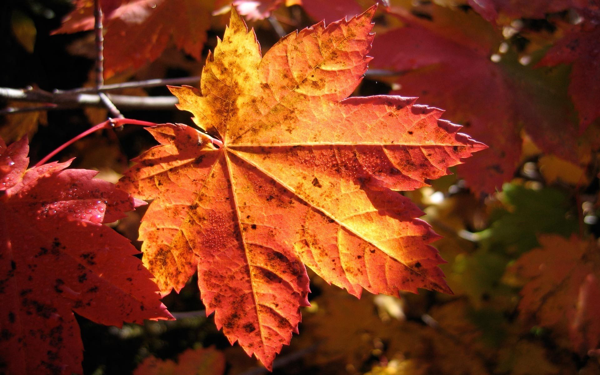 Fall Foliage Desktop Wallpaper Photography Nature Plants Macro Fall Leaves