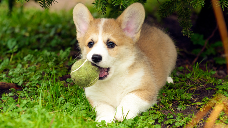 Cute Puppies Wallpapers For Mobile Dog Puppies Corgi Wallpapers Hd Desktop And Mobile