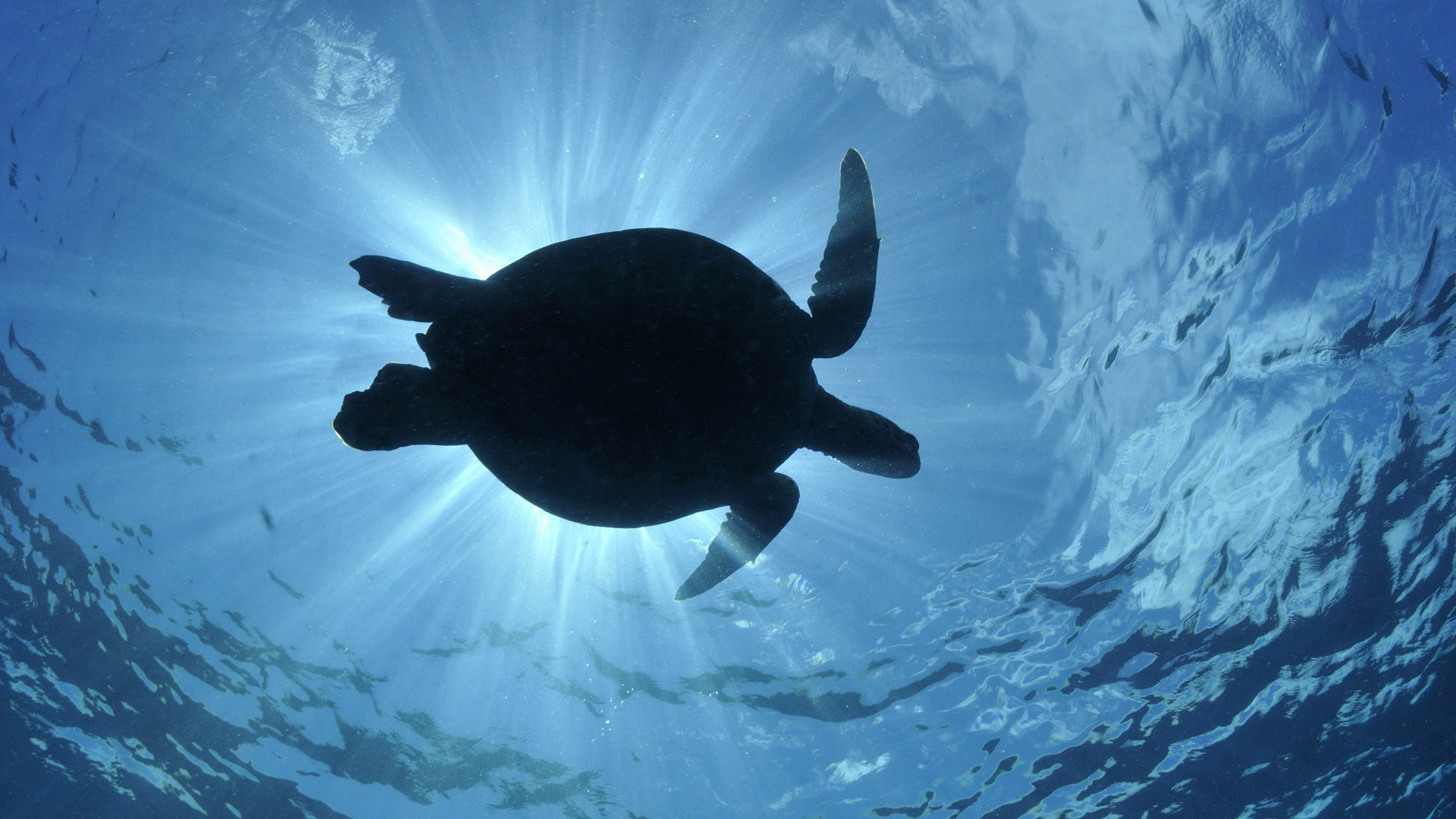 Hd Movie Wallpapers For Mobile Sea Water Turtle Wildlife Wallpapers Hd Desktop And