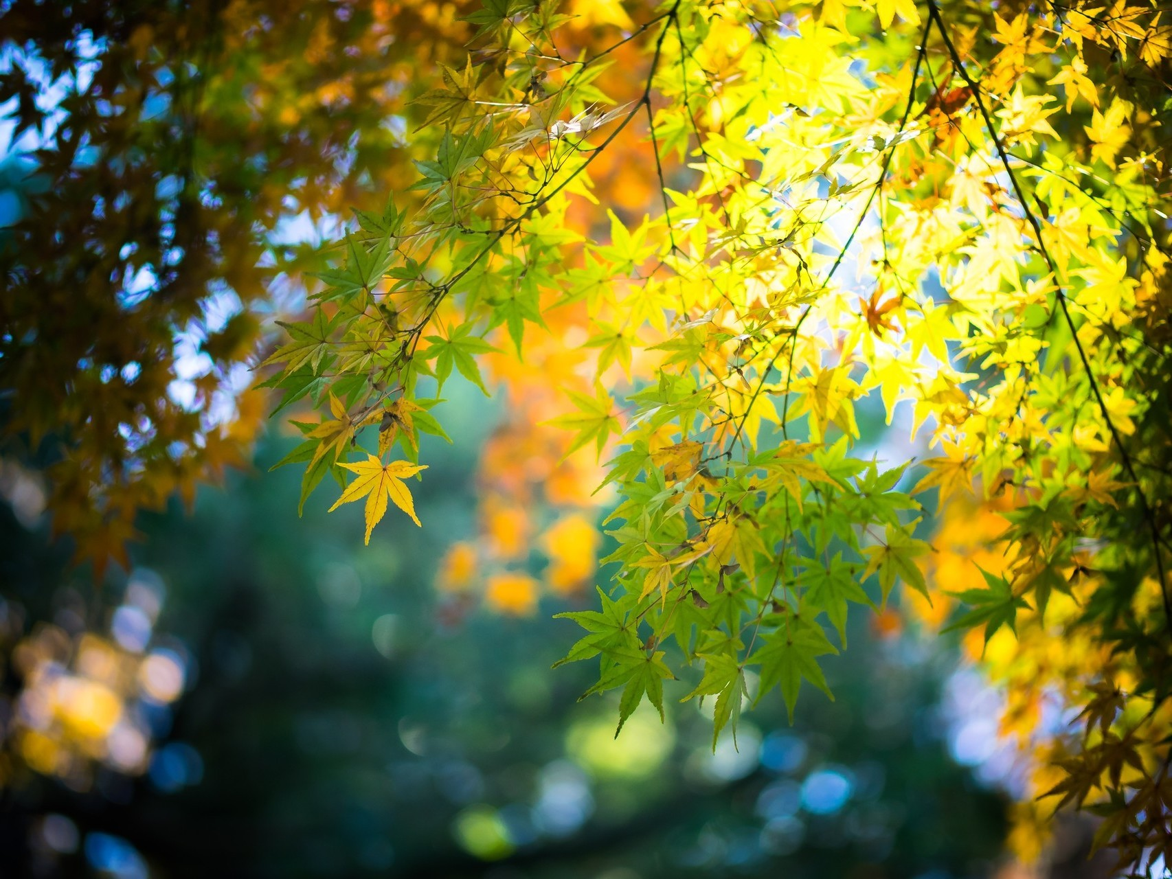 Funny Fall Wallpaper Maple Leaves Fall Bokeh Leaves Nature Wallpapers Hd