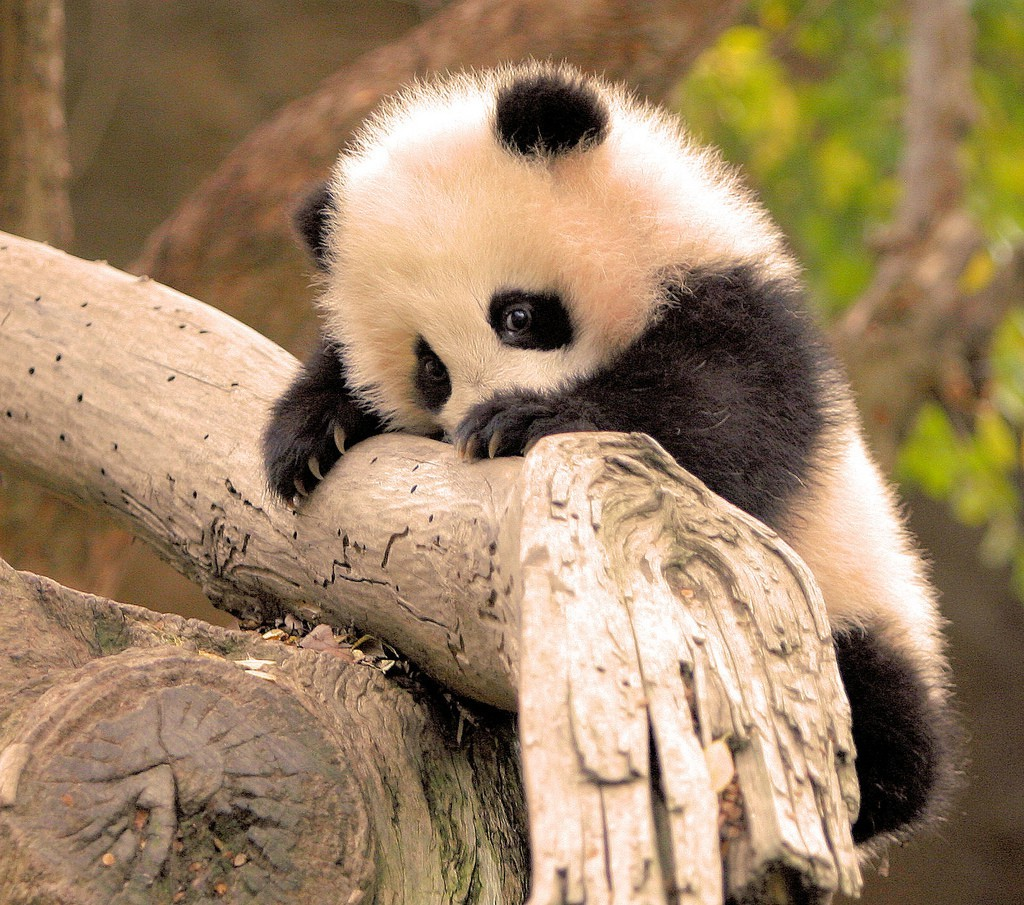 New 3d Wallpapers Free Download For Mobile Panda Animals Baby Animals Branch Wallpapers Hd