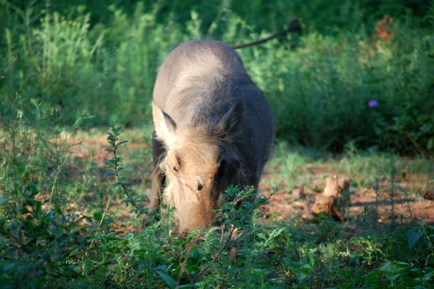 Warthog, south african animals