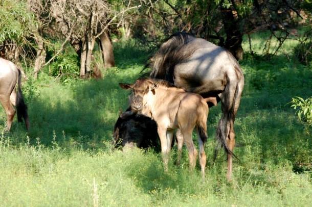 Wildebeest, South African animals