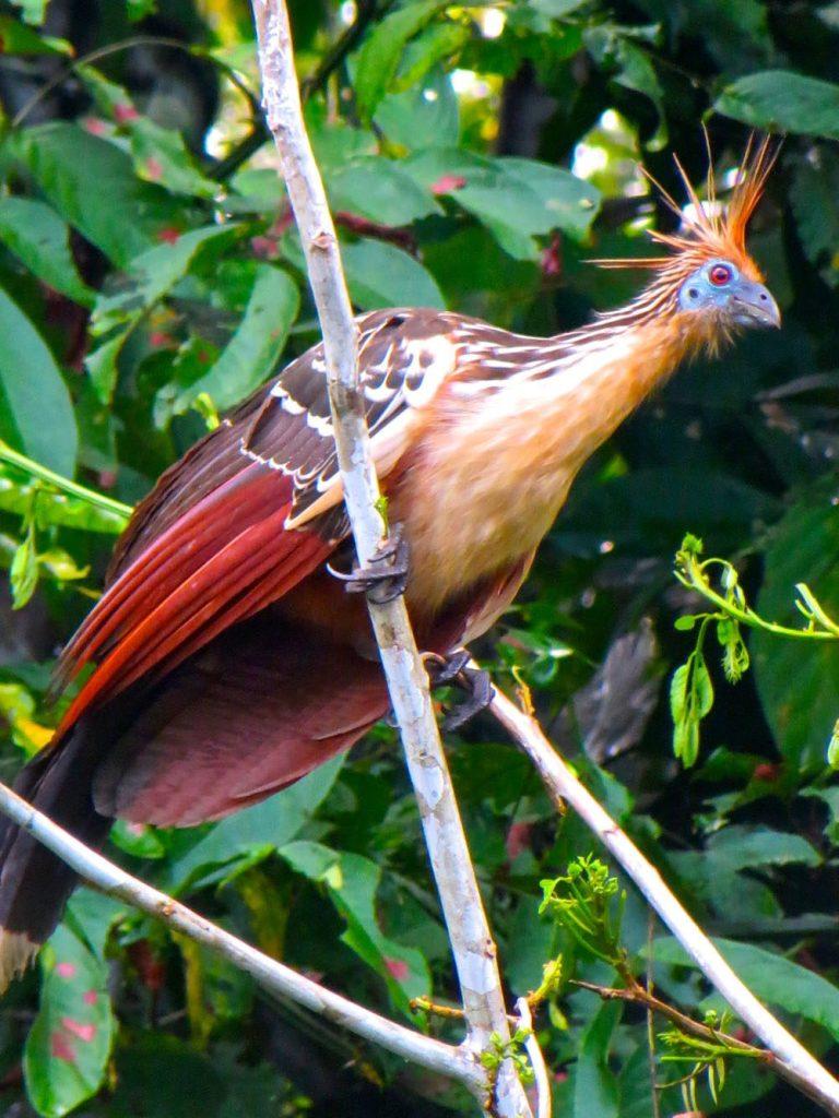 Stink bird Amazon Ecuador