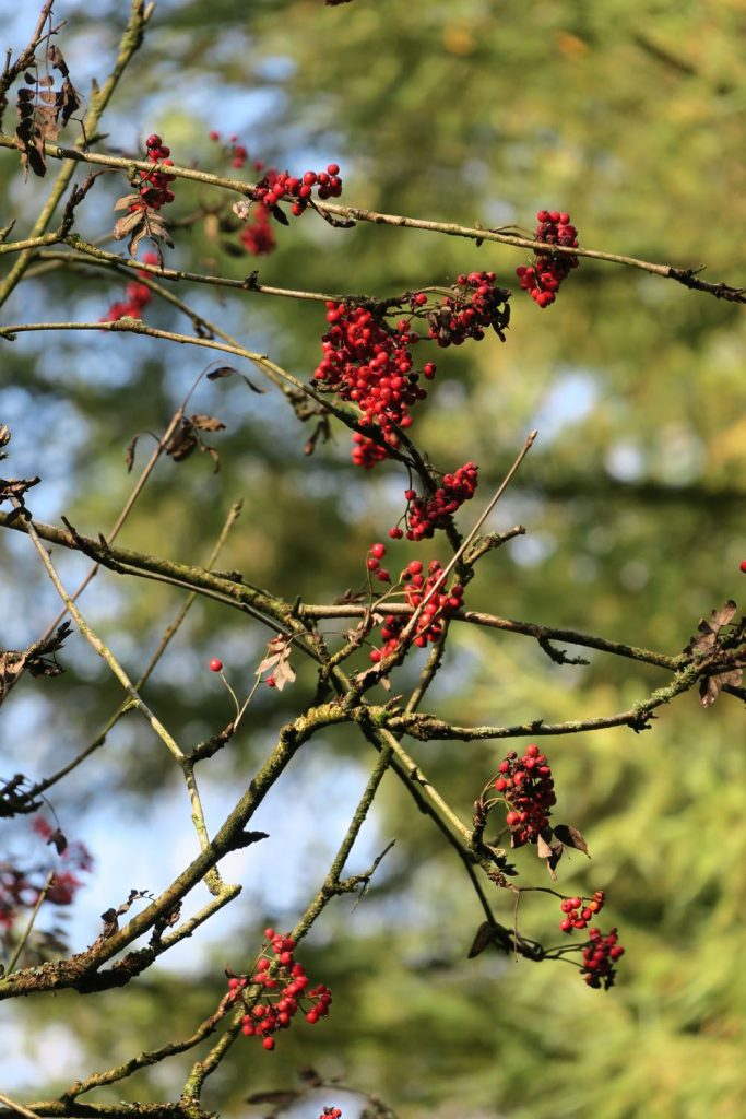 berries in autum UK