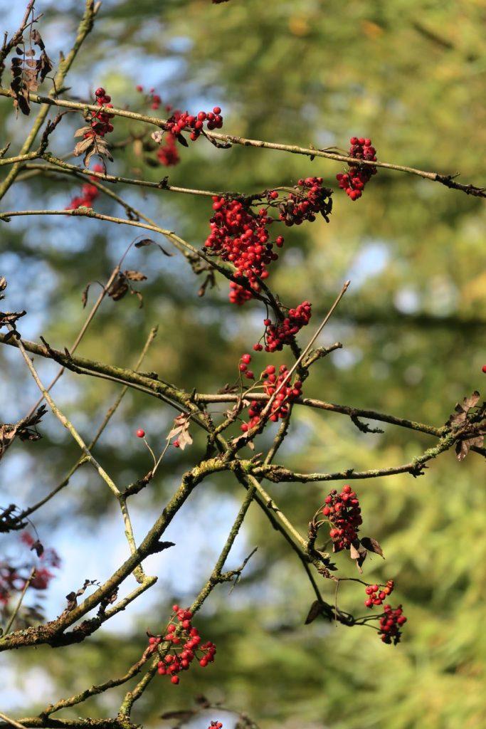 berries in autum UK
