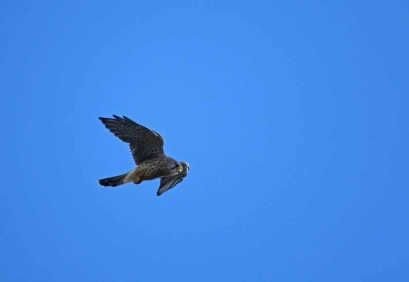 Bird of prey falcon hovering
