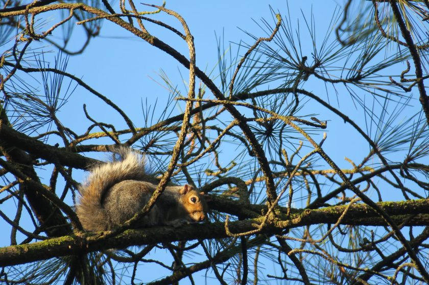 Squirrel delamere forest wildlife winter