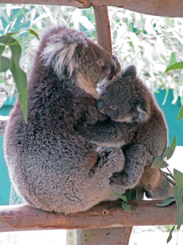 Koala cuddle Australia