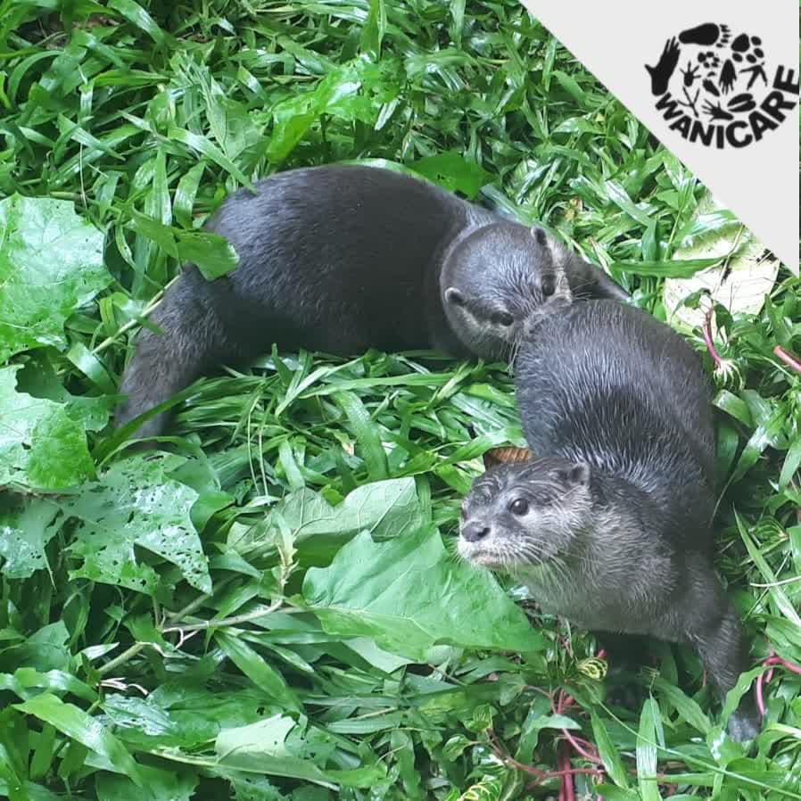 Pet Otter Australia News Wanicare Foundation Passionate To Protect Wildlife