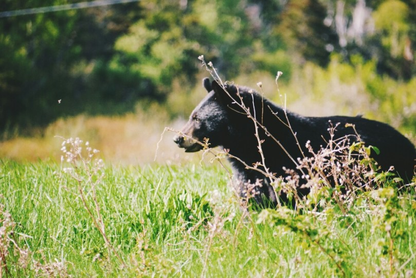 One of the two black bears we saw.