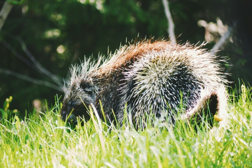 The grumpy-looking porcupine.