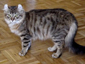 出典:American Curl - Wikipedia, the free encyclopedia