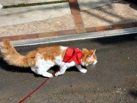 出典:CAVALLINO 猫・ねこ・ネコ: 散歩するメインクーン・・・とっとこバシュ太郎