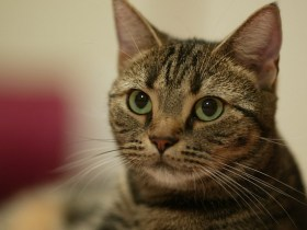出典:キジトラ猫ちゃん ( Page 5 )|みんなで作る!猫の柄図鑑|猫といっしょ|アイリスペットどっとコム