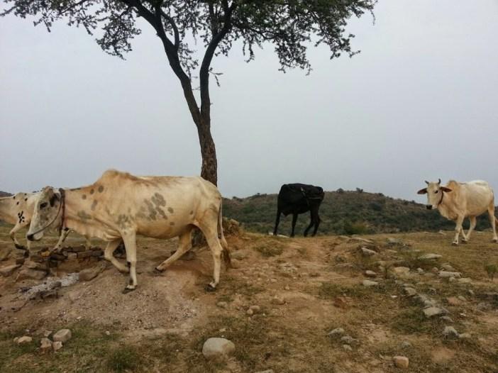 Cows Moooo