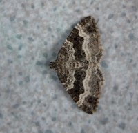 Common Carpet | NatureSpot