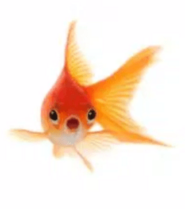 shocked-goldfish