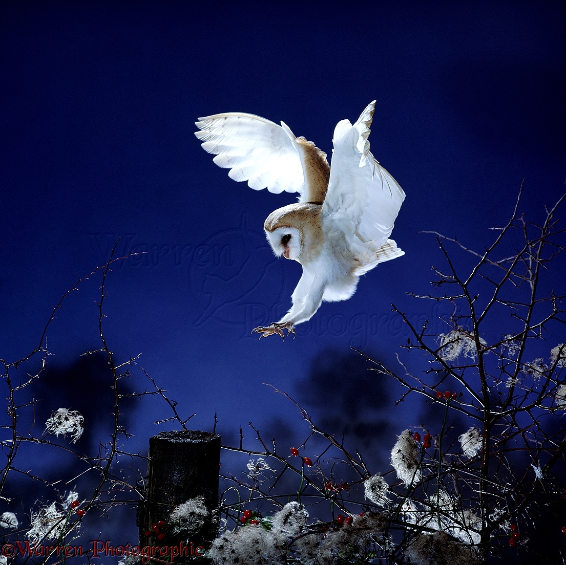 Alba Photographie Barn Owl Alighting On Fencepost Photo Wp01468