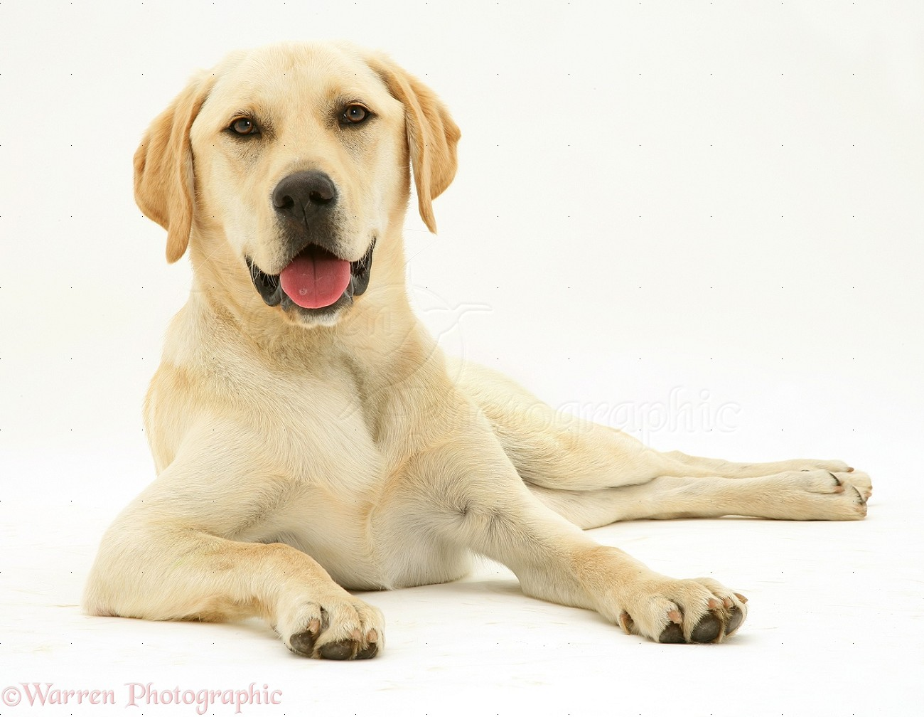 Yellow Lab Dogs For Sale Yellow Labrador Dog Photo Wp11386