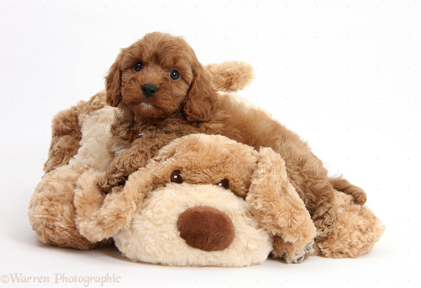 Soft Toy Dog Cavapoo Pup 6 Weeks Old And Soft Toy Dog Photo Wp22799