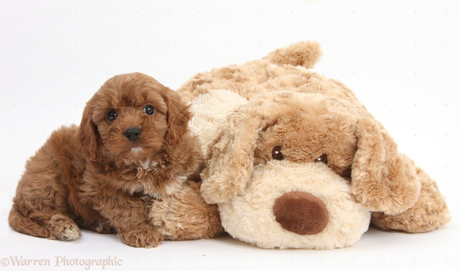 Soft Toy Dog Cavapoo Pup 6 Weeks Old And Soft Toy Dog Photo Wp29512