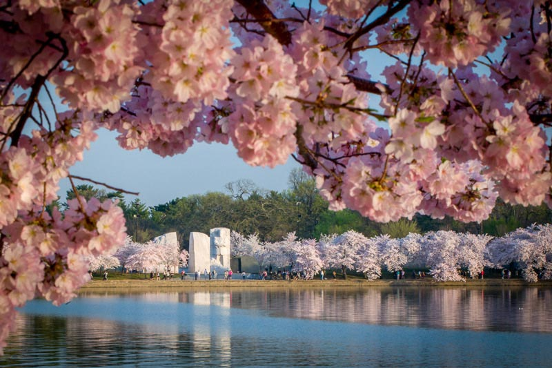 Things to Know About the National Cherry Blossom Festival in DC - cherry blossom animated