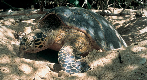 Fregate Island has been the home of the Aldabra Giant Tortosie for hundreds of years.