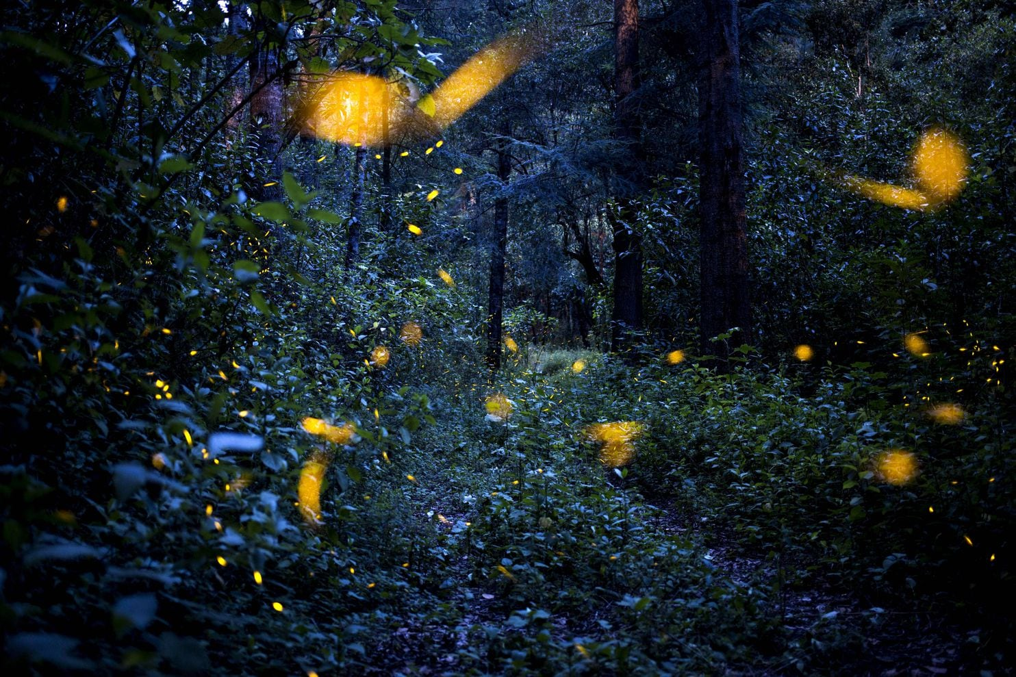 Firefly Insect At Night Firefly Twinkles Are A Sweet Reminder That They Taste Like