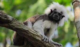 Conservation Travel in Colombia with the Cotton-Top Tamarins