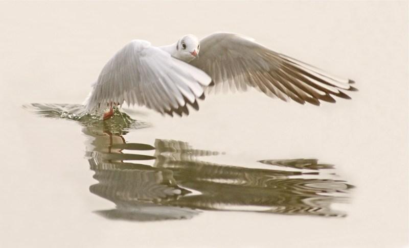 03_carolynebarber_gull