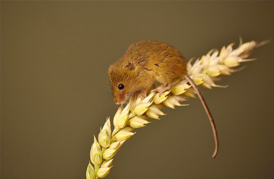harvest mouse stephanie waterman
