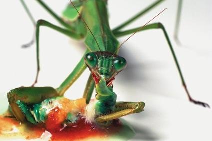 0-Praying-Mantis-Eating-a-Caterpillar.jpg