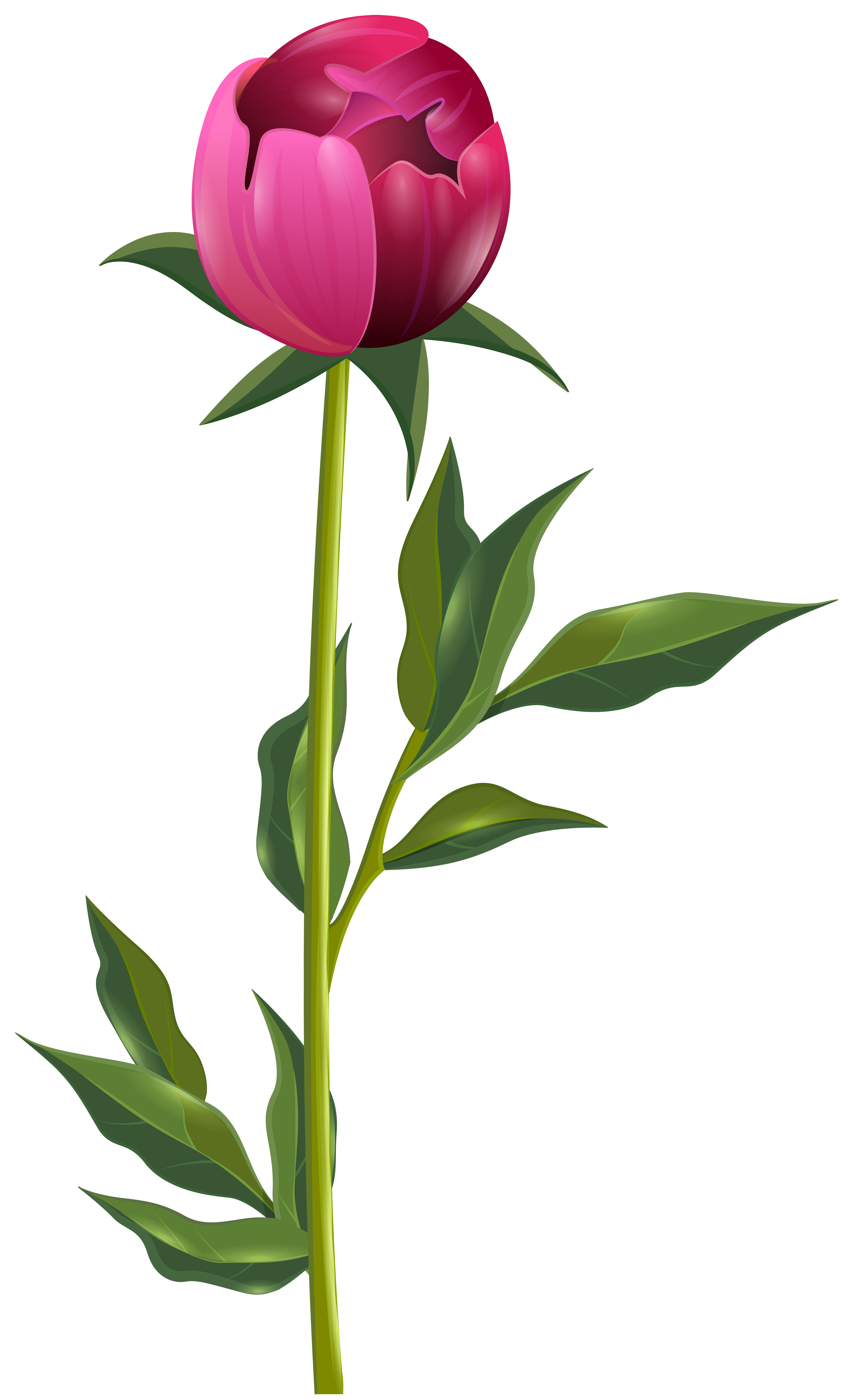 Pfingstrosen Clipart Peony Clipart Detailed Peony Detailed Transparent Free For